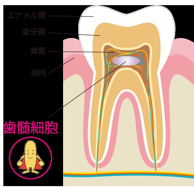 歯髄細胞の魅力